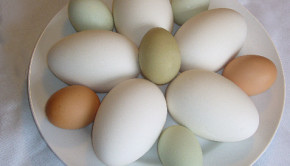 Eggs come in many colors, naturally, here brown and green eggs are shown with goose eggs.