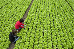 people picking lettuce.jpg
