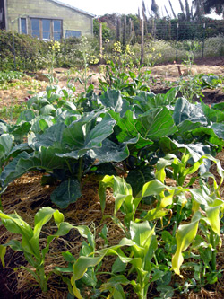 Our plot in the Noyo Come-Unity Garden