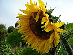 garden_sunflower