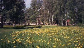800px-dandelions_in_tuira_jun2008