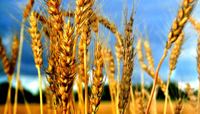 Monsanto Wheat