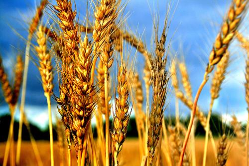 Monsanto Wheat