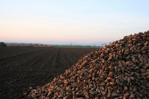 Sugar Beet Production