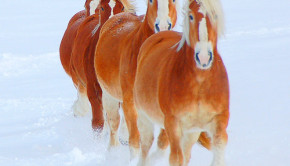 Horsemeat_Will the US kill horses for human consumption again