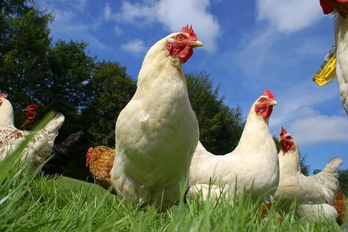 organic farming chickens