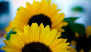sunflowers seed oils part of the obesity epidemic