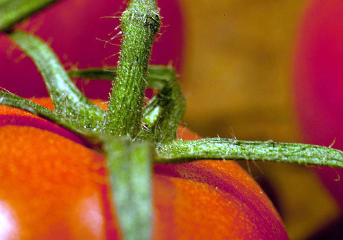 tomato. cc photo by flickr user Ruth_W