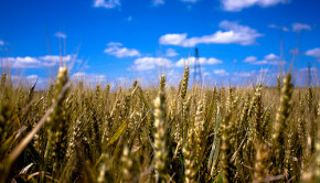 wheat. cc photo by flickr user klallier