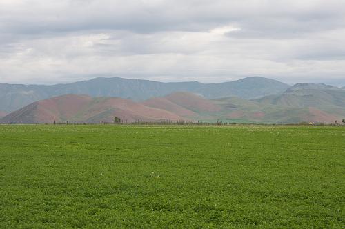 Alfalfa Fields in Idaho