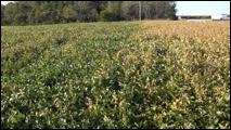 diseased field
