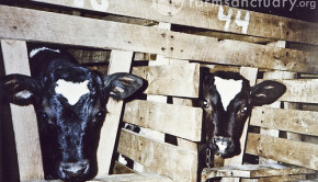 veal calves in crates