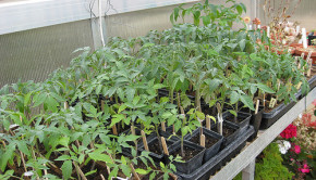 tomato seedlings