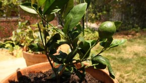 lemon tree in a pot