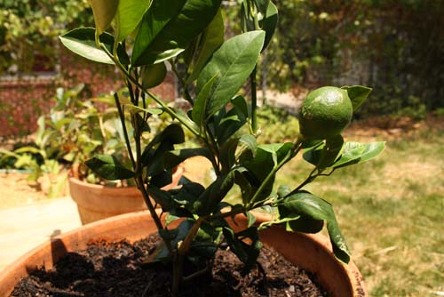 Growing a lemon tree in a pot eat drink better for Growing a lemon tree in a pot from seed