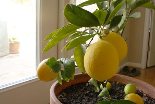 Vegans living off the land grow veggies fruit trees in for When to transplant lemon tree seedlings