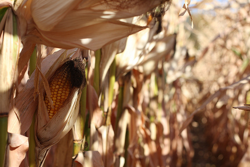 corn heat