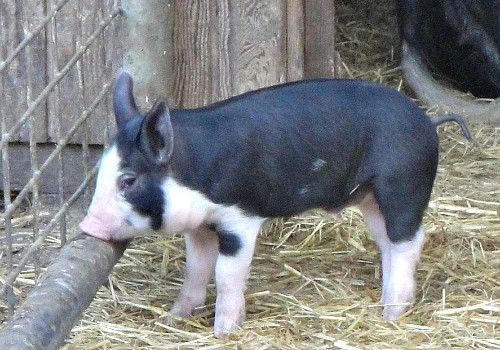 Piglet on a small farm