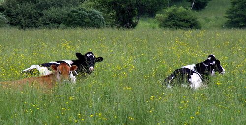 Vermont Dairy Cows