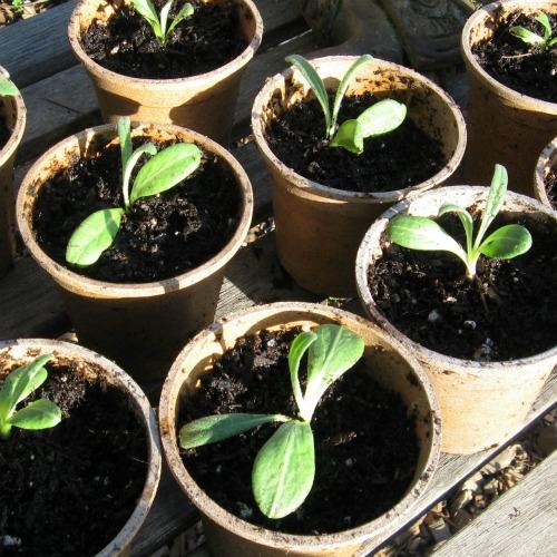 Artichoke seedlings