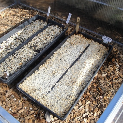 Seed flats in cold frame