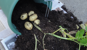 Container potato harvest