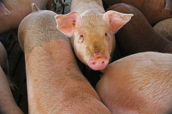 Pork Producers Sue to Kill Country of Origin Labeling