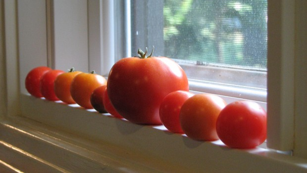 A Row Of Fresh Tomatoes