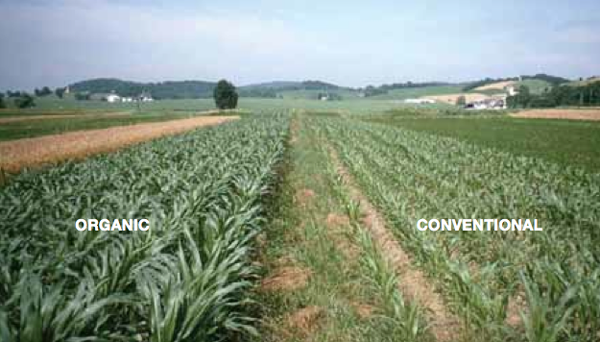 organic vs conventional corn