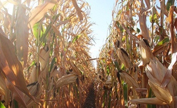US Corn now vulnerable to Bt-resistant rootworms