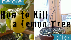 how to kill a potted lemon tree