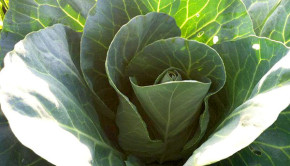 cabbage recipe