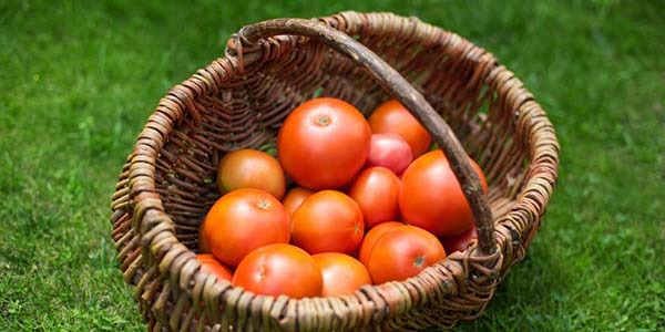local food basket of tomatoes