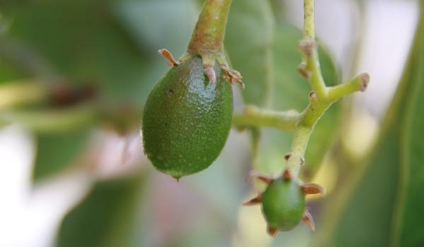 the avocado crop this year is tiny