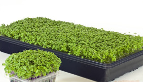 Homegrown Microgreens