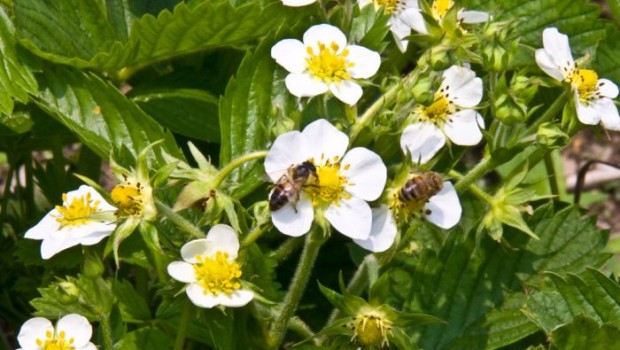 Bees Collect Nectar from Strawberry Flowers
