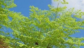 Moringa Tree for Food Security