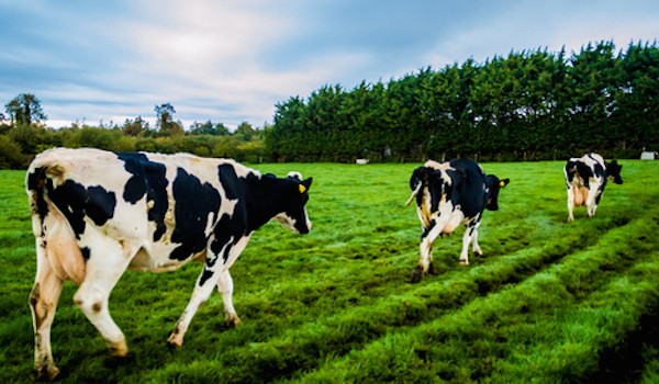 Strolling Cows