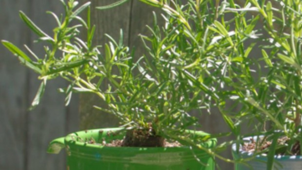 How to Grow Rosemary in Old Coffee Mugs