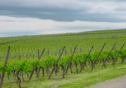 Alsace_Vineyard