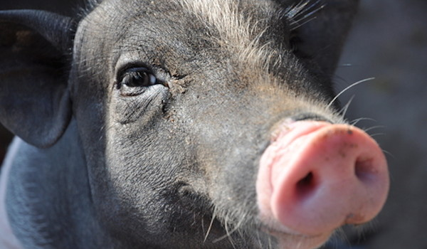 The Farm to Table Movement: Merely Lipstick on a Pig?