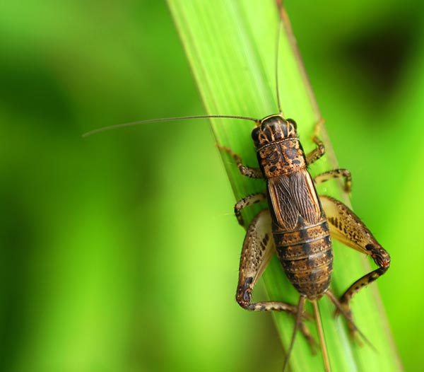 How-to: Raising Crickets for Sustainable Protein