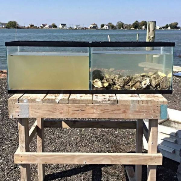 Are oysters the key to clean water?
