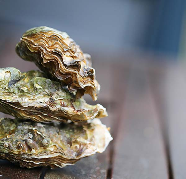 oysters clean water