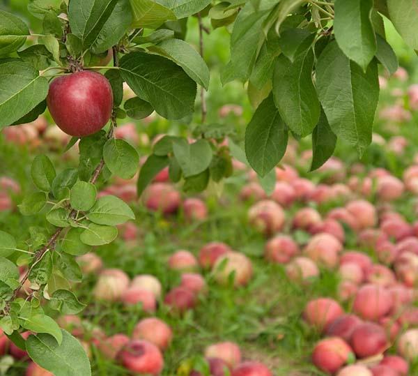 Fruitcycle Turns 'Bad' Apples Good Again