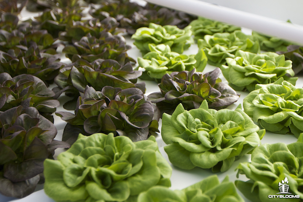Urban Farming Reimagined: Who Wants a Growbot?