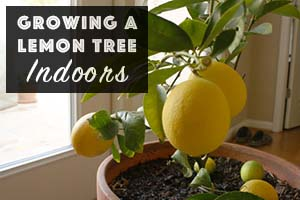 How to Grow a Lemon Tree Indoors - There are a few things to keep in mind when growing a lemon tree indoors (or any other citrus plants).