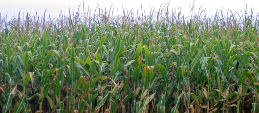 Fields of corn to be used for animal feed and processed foods.
