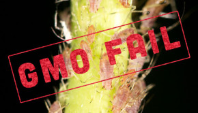 Recent field-scale tests of GMO wheat designed to repel aphids have shown the new GMO crop to be nearly completely ineffective.