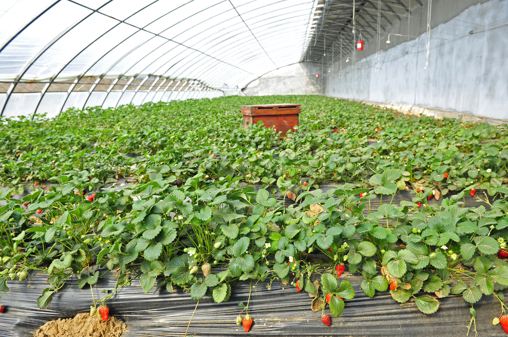 Driscoll's Says Strawberry Seedlings Now Organic, and It Matters More Than You Think